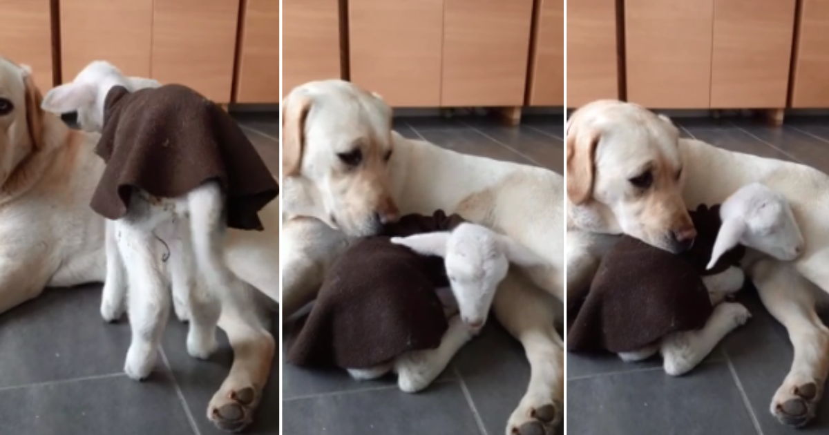 1 3.png - Pet Dog Adopted An Orphan Lamb As Its Own