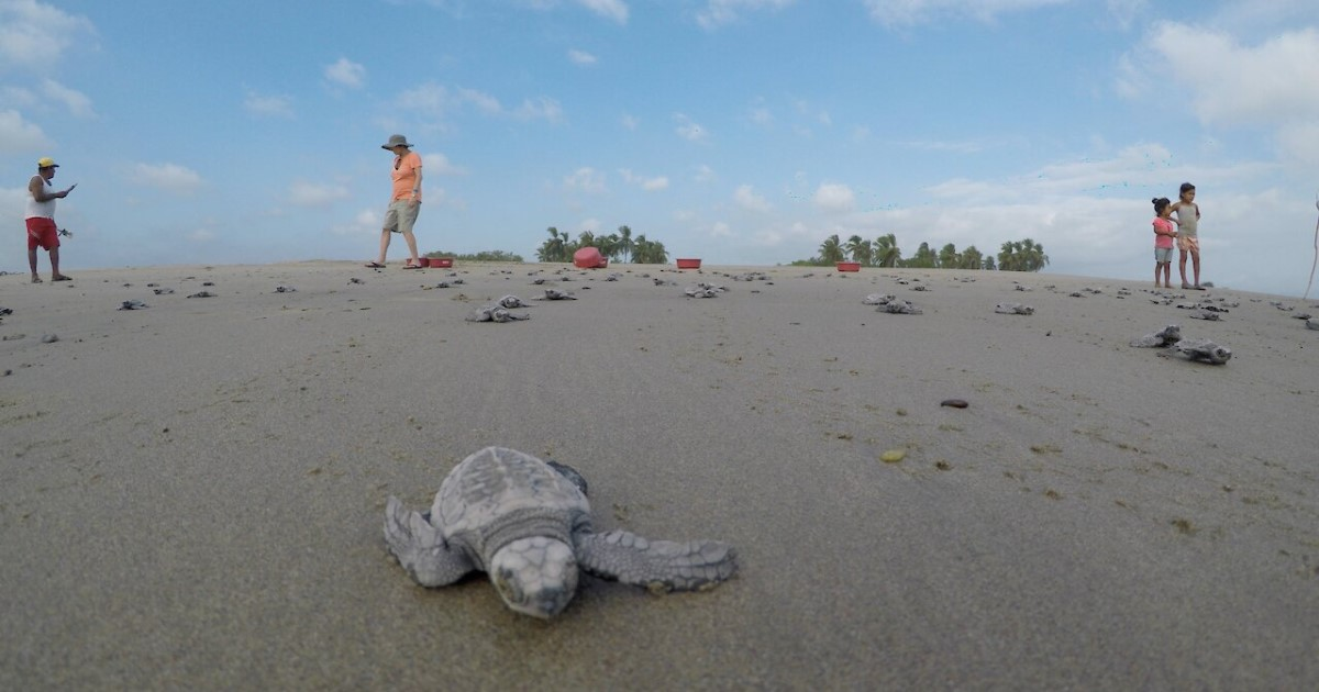 2 4.jpg - Hundreds Of Baby Turtles Raced To The Sea Moments After Tourists Helped Them Get Hatched From Eggs