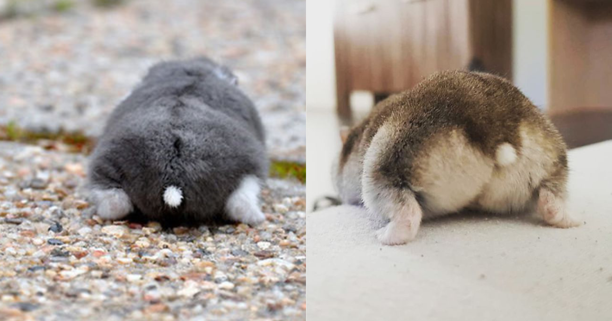 cute hamster.png - 30 Adorable Pictures of Hamster Backs to Brighten Your Day