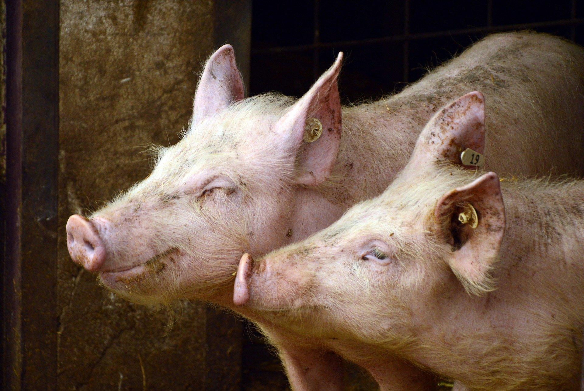 pigs 3967549 1920.jpg - Un fermier polonais retrouvé mort et dévoré par ses cochons