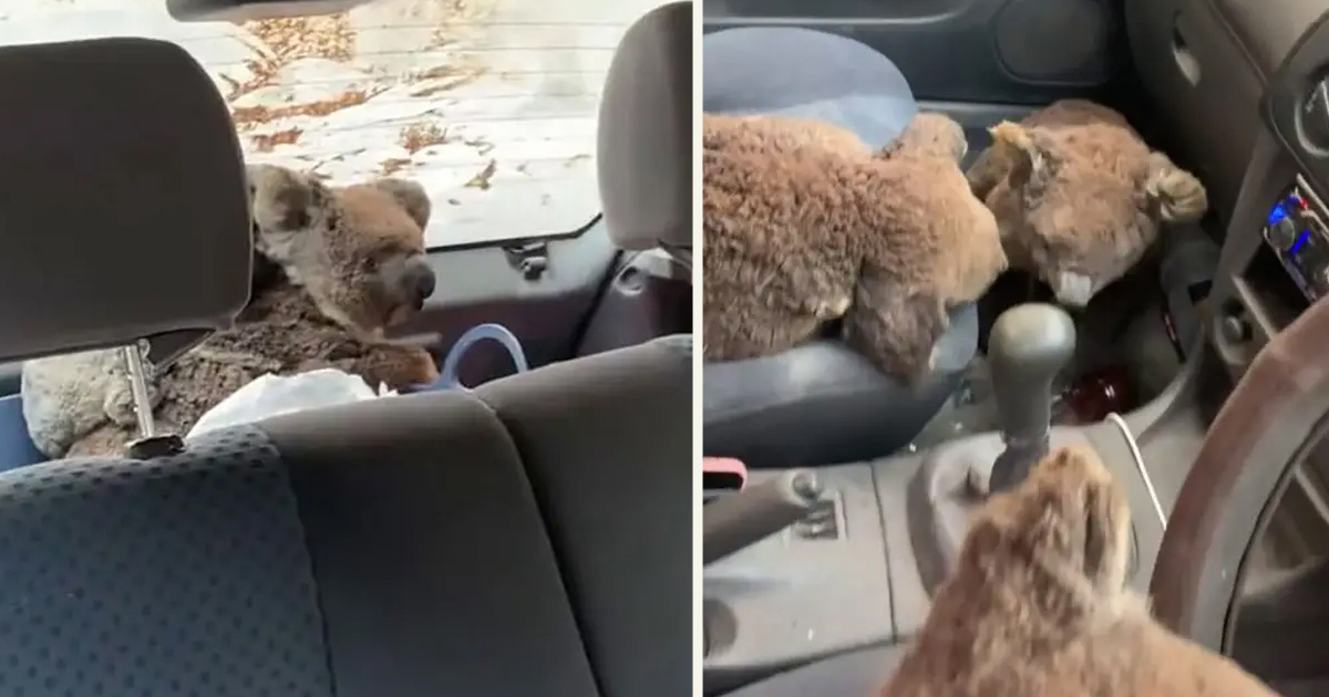 untitled 1 50.jpg - Teens Drove Around In Their Car To Rescue As Many Koalas As They Could
