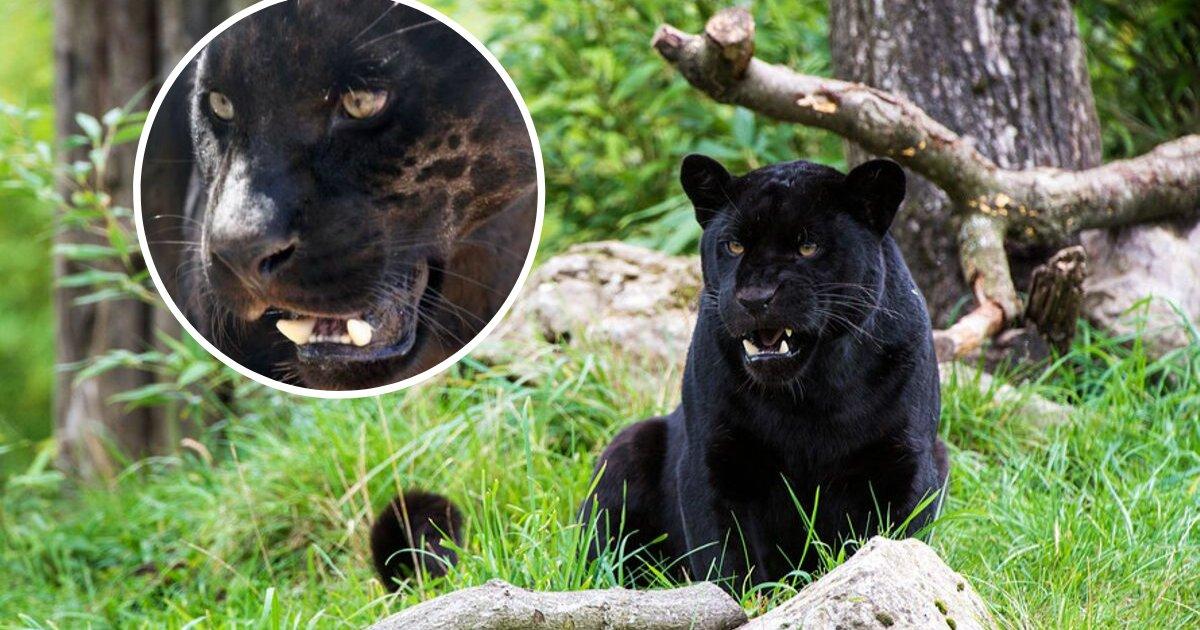 untitled design 97 1.jpeg - Hayvanat Bahçesi Yetkilileri Selfie Çeken Kadına Saldıran Jaguarı Uyutmayı Reddetti