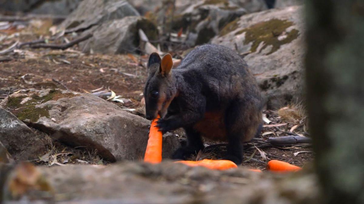 wallaby.jpg - Incendies en Australie: des carottes sont envoyées par les airs aux wallabies