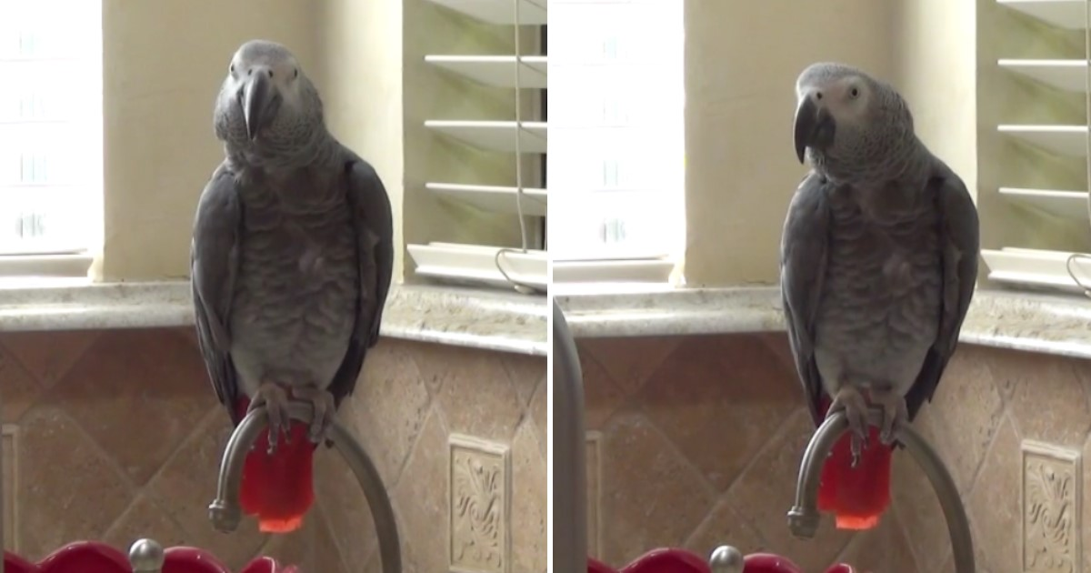 1 271.jpg - Einstein The Talking Parrot Chanted 'Pizza, Pizza' Before Making Silly Comments