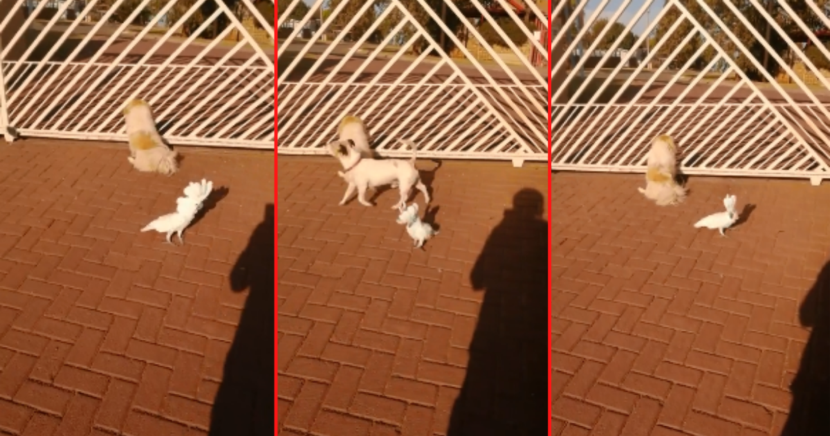 1 64.png - Parrot Barks as a Dog to Protect The House as a Dog Would