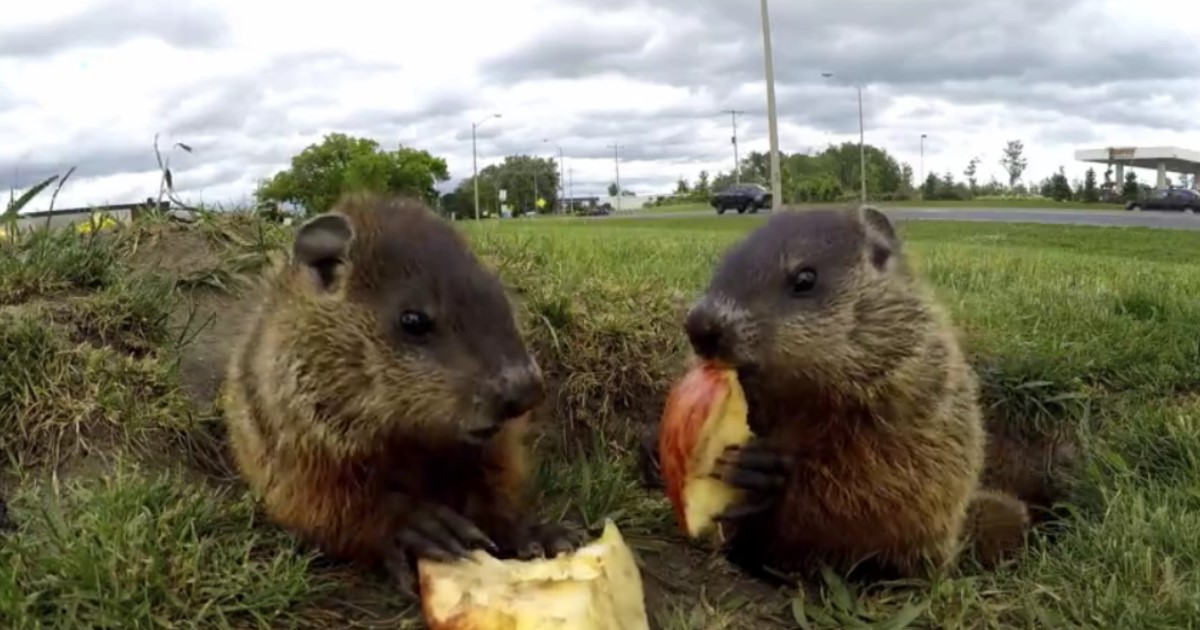 5 60.jpg - A Pair Of Adorable Groundhogs Happily Munched On Apple Slices While Enjoying The Sunlight