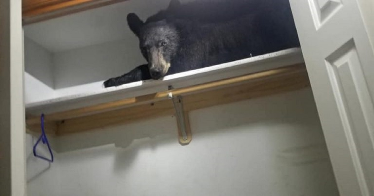 b3 10.jpg - Wild Bear Came Into A Family's Home And Decided To Sleep In Their Closet