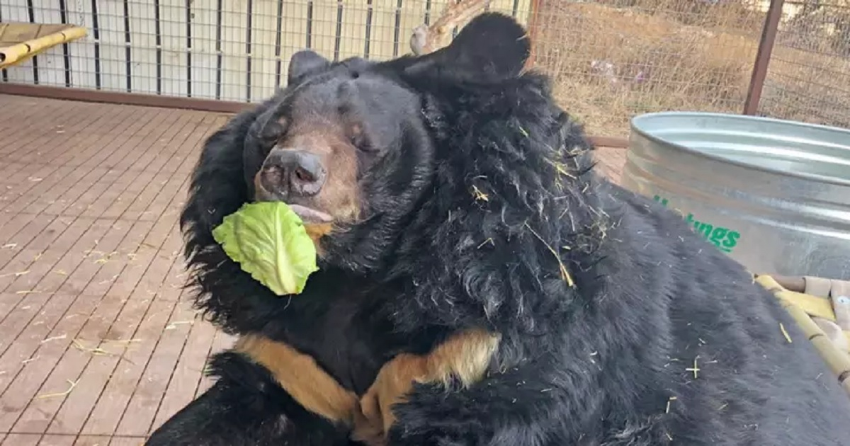 b3 13.jpg - Obese Asiatic Bear Has Been Put On A Diet Following Rescue From An Unhealthy Life