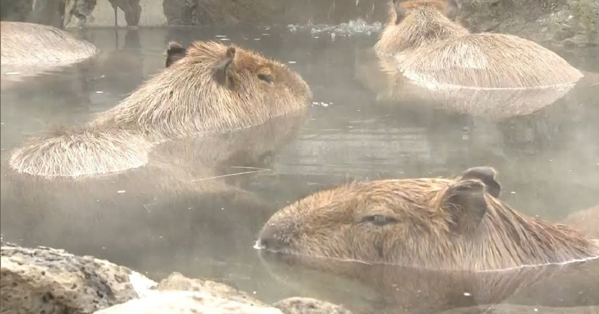 c3 2.jpg - Bathing Capybaras Are The Star Attractions At Zoos In Japan This Year