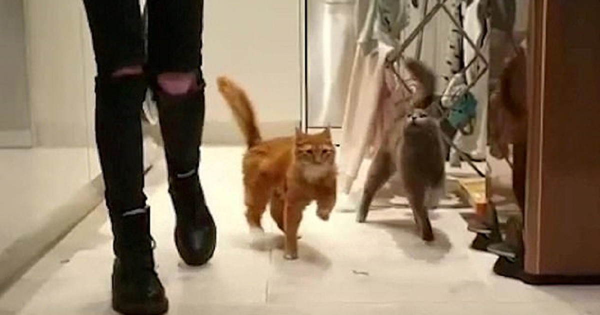 c3 9.jpg - Two Adorable Cats Have A Condition That Makes Them Wobble When They Walk