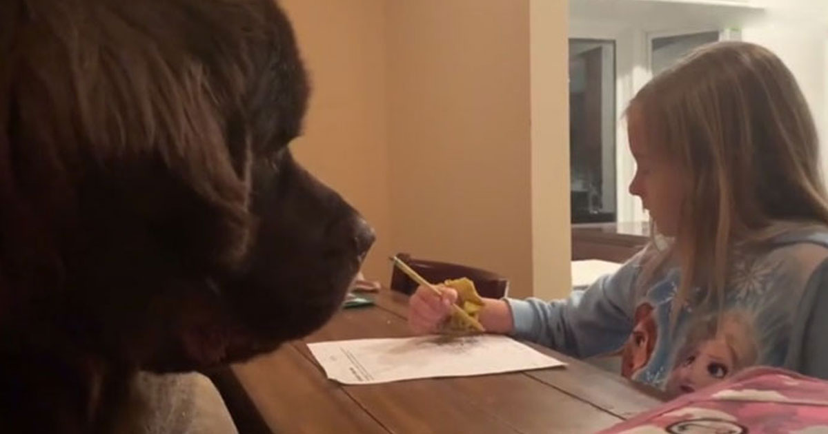 dog waiting for best friend.jpg - Heartwarming Video Shows This Newfoundland Waiting For Its Best Friend To Finish Her Homework