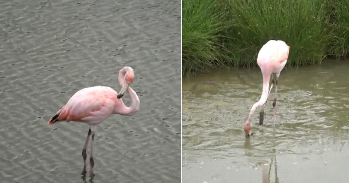 f3 6.jpg - Gorgeous Pink Flamingo Started Enjoying Its Meal Within Sight Of Amazed Tourists