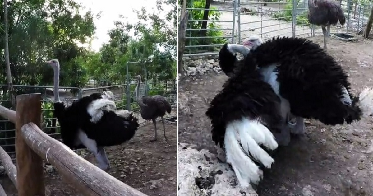 o3.jpg - Giant Ostrich Showed Off His Moves To Get Attention