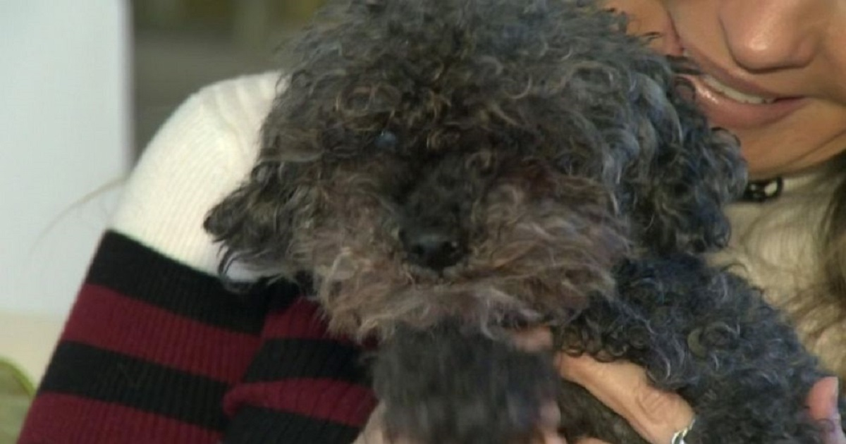 p3 8.jpg - Poodle Miraculously Survived After Being Snatched By A Hawk In A Backyard