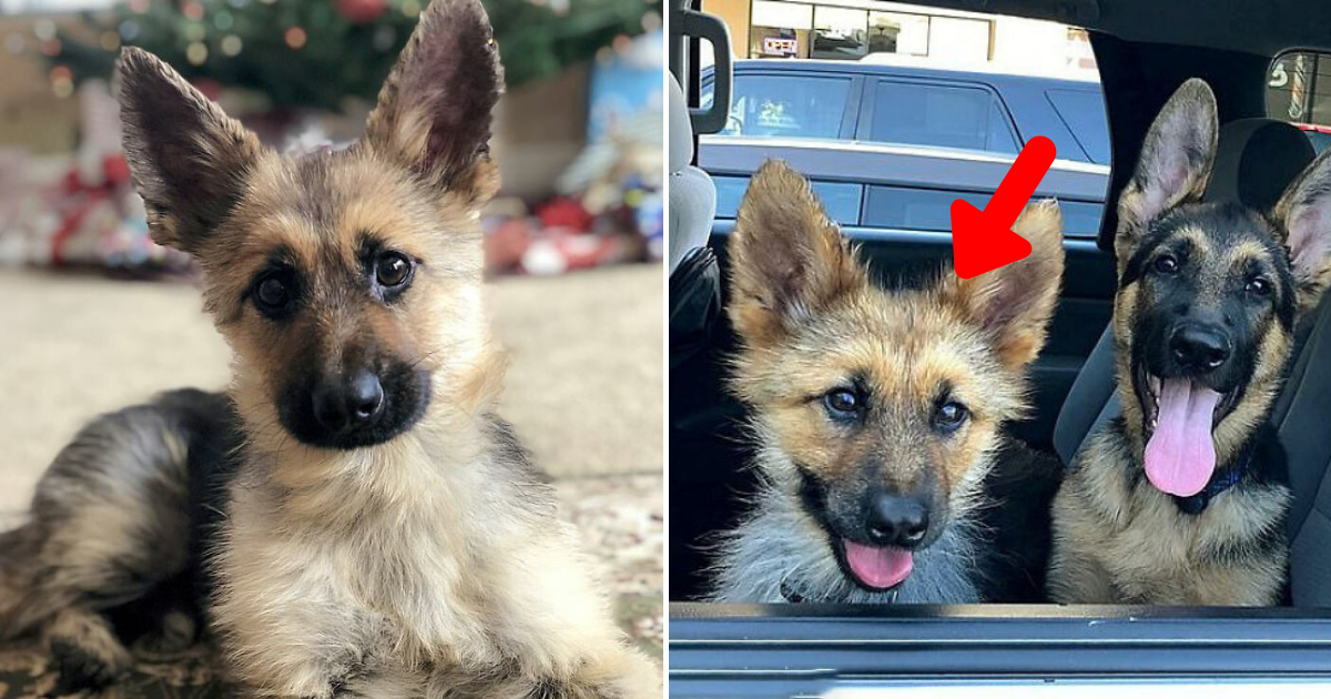 ranger6.png - Adorable German Shepherd With Dwarfism Will Look Like A Tiny Puppy Forever