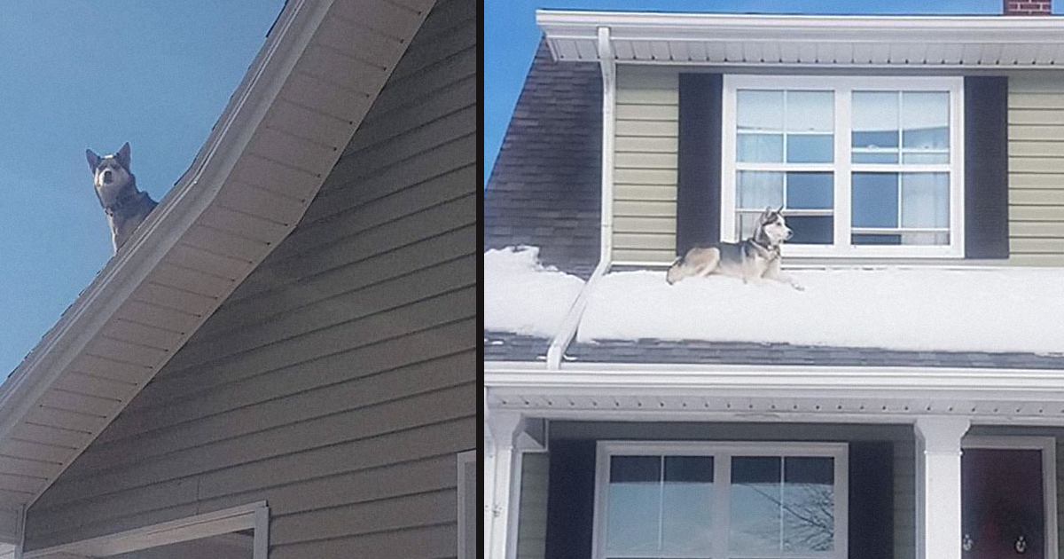 untitled 1 101.jpg - Cop Called This Guy To Inform Him That His Husky Is Sitting On The Roof Of His House
