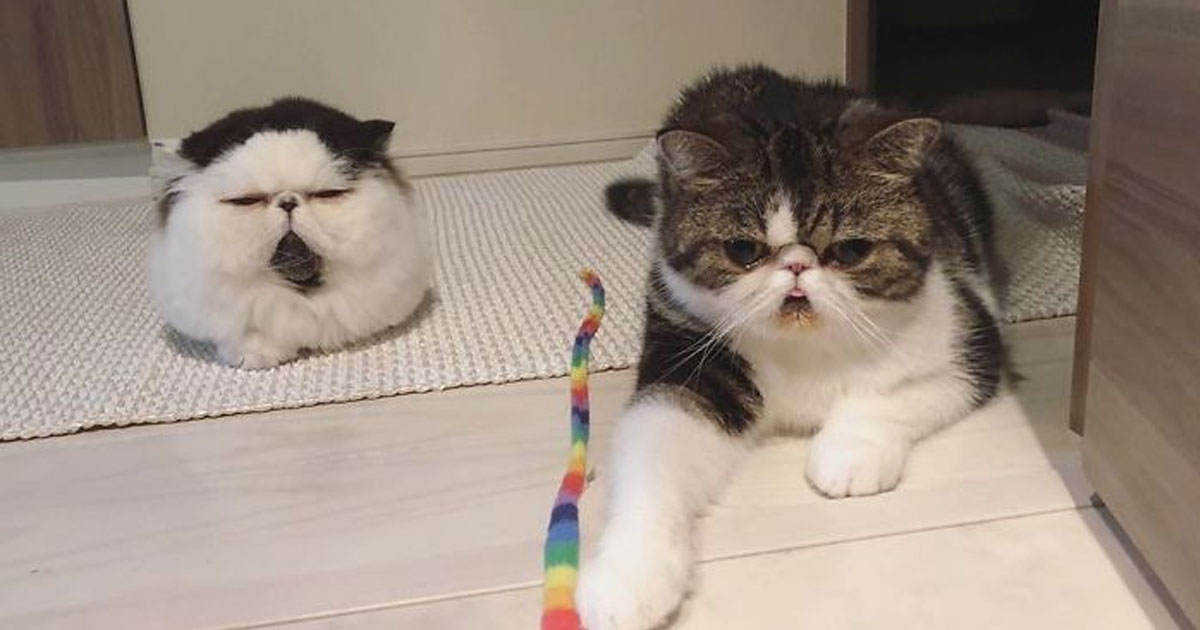 untitled 1 22.jpg - Meet Zuu And Bocco, The Two Famous Cats Who Have Flat Faces