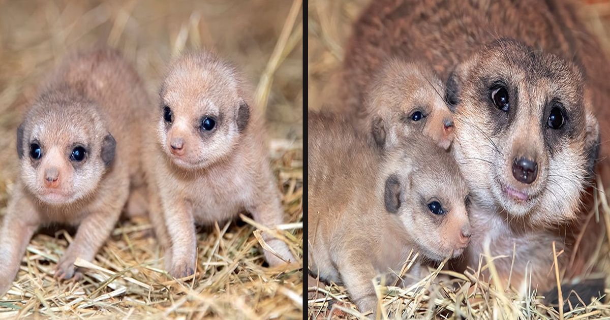 untitled 1 42.jpg - Zoo Miami Welcomed Pair Of Baby Meerkats