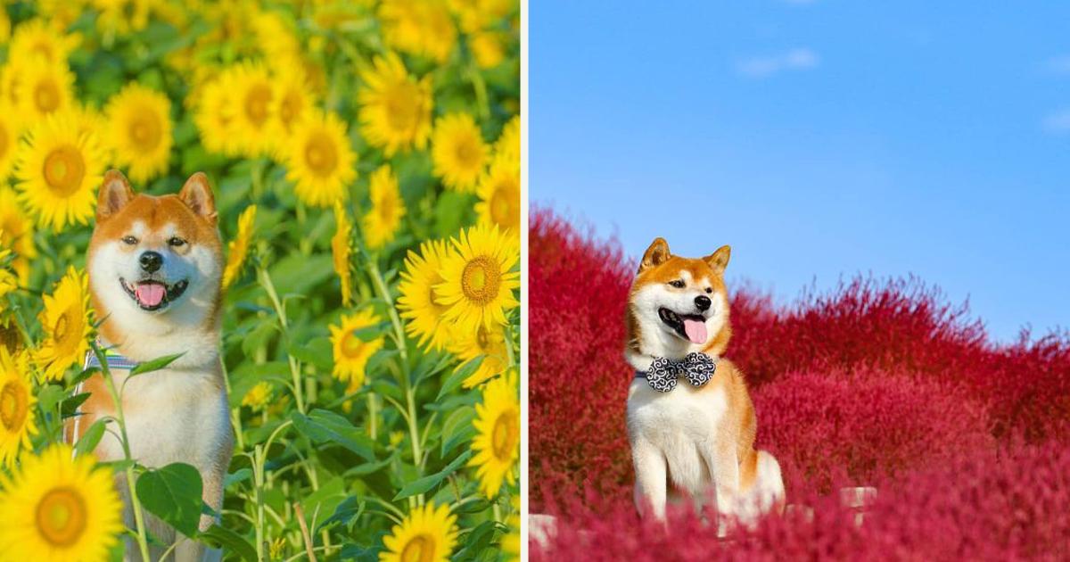 untitled 1 75.jpg - Ce petit chien, un Shiba Inu, est le fleuriste le plus mignon du Japon