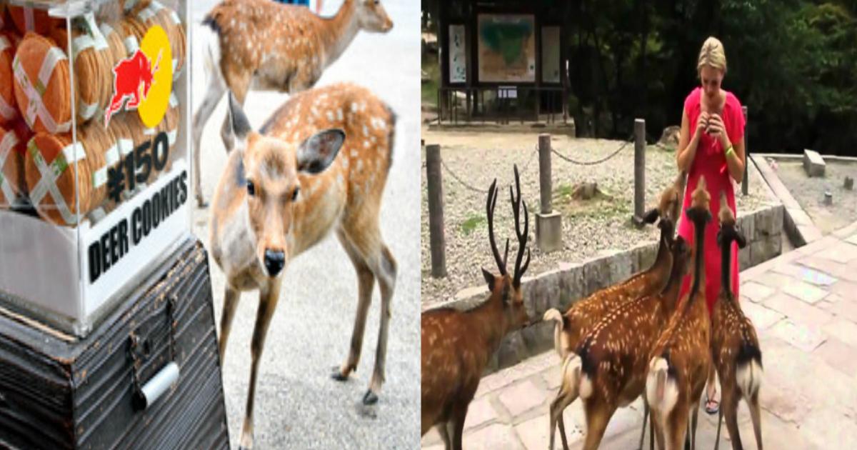 """w 1.jpg - 「新型コロナウイルス」のとばっちり!?奈良公園の鹿が噛みつくなどの""""狂暴化""""に"""