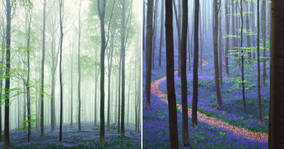 5 47.png - This Magical Forest in Belgium is Lined With BlueBell Flowers