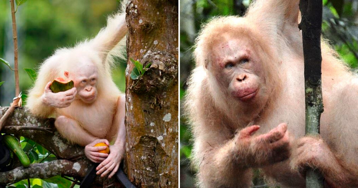 alba6.png - The World's ONLY Albino Orangutan Is Spotted In Rainforest Over A Year After She Was Released
