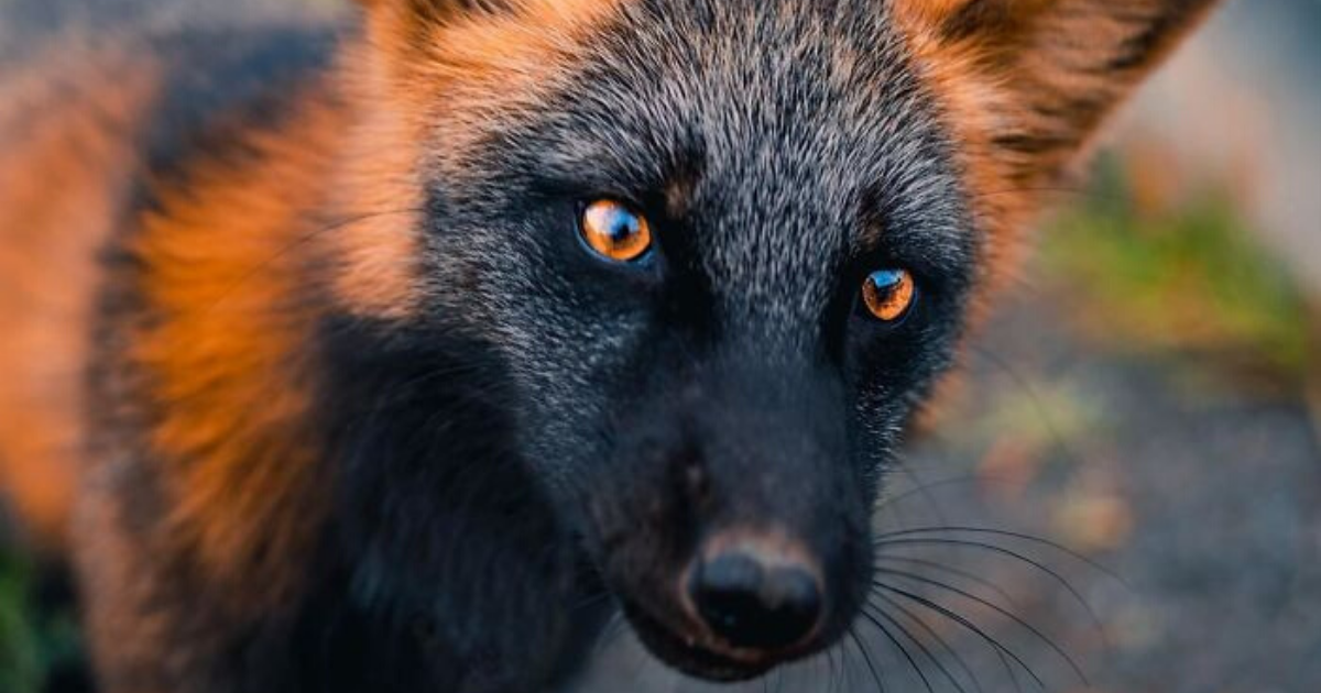 fox11.png - Guy Earned The Trust Of A Black And Orange Fox And Shared Beautiful Photos