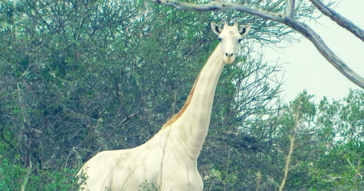 giraffe6.png - Rare White Giraffes Were Attacked By Poachers At Wildlife Sanctuary, Now There's Only ONE Left In The World