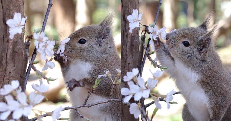 kakaotalk 20200327 005630499.jpg - 코로나19로 사람들 '벚꽃 놀이' 못 오자 대신 나와 벚꽃 만끽하는 귀염둥이 청솔모.jpg
