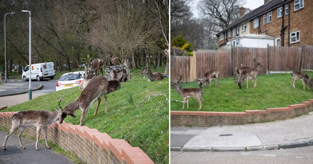 5 12.png - Deer Were Seen Strolling On London's Street Amidst Coronavirus Lockdown