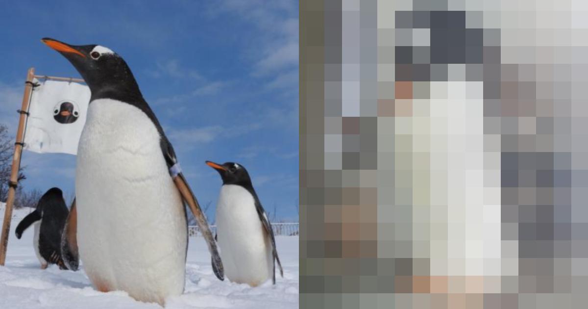 e696b0e8a68fe38397e383ade382b8e382a7e382afe38388 67.png - 【反響】ペンギンの「お腹がすごいことに…」⁉ 休園中の水族館ツイートが話題に…「バッキバキの腹筋」に飼育員も驚き⁉