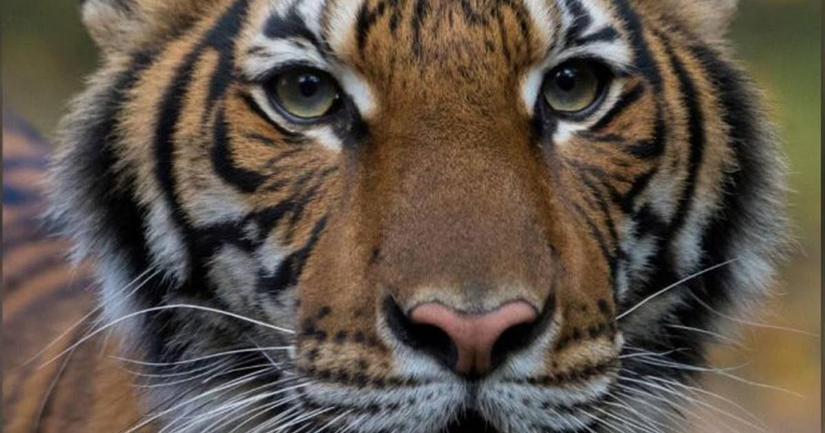nadia covid 19jpg e1586197842921.jpeg - Covid-19 : Un tigre du zoo de New York a été testé positif au coronavirus !