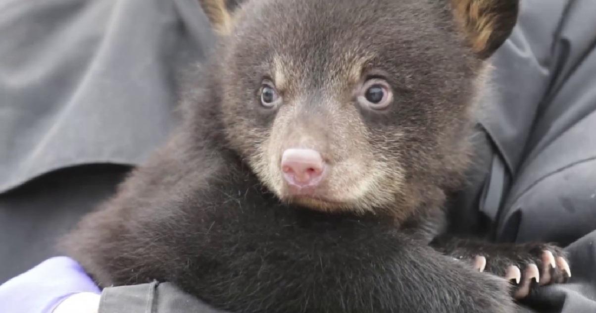 ours 1.jpg - Carnet Rose: deux ours noirs sont nés dans un parc animalier de Moselle