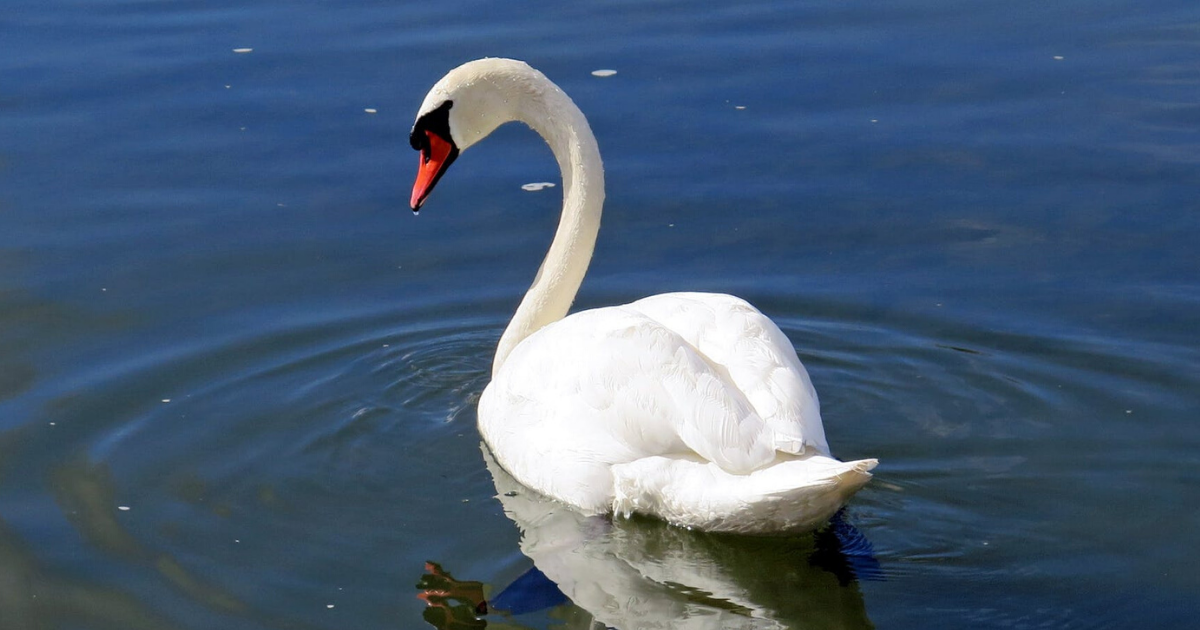 swans.png - Police Are Searching For The Person Who Attacked A Nesting Swan As She Looked After Her Eggs
