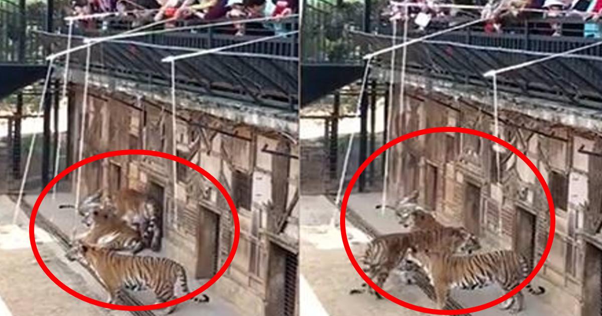 tora.png - 新型コロナウイルスの感染拡大の一方で動物園開園?トラを釣るアトラクションに「動物虐待だ」と批判殺到
