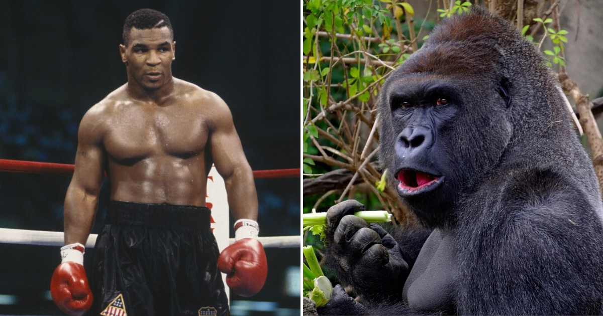 untitled design 12 2.png - Mike Tyson Admitted He Once Offered $10,000 To Zookeeper To Let Him Fight A Large Gorilla