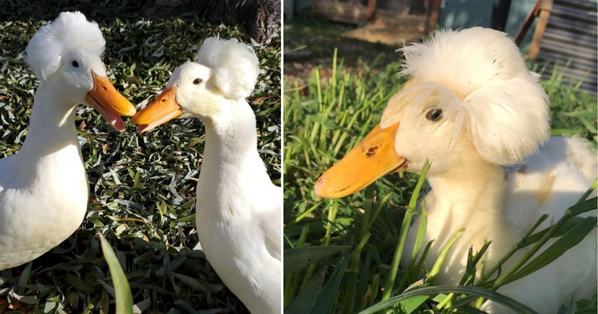 1 28.png - These 30 Ducks Look Like They Have Wigs On Their Heads