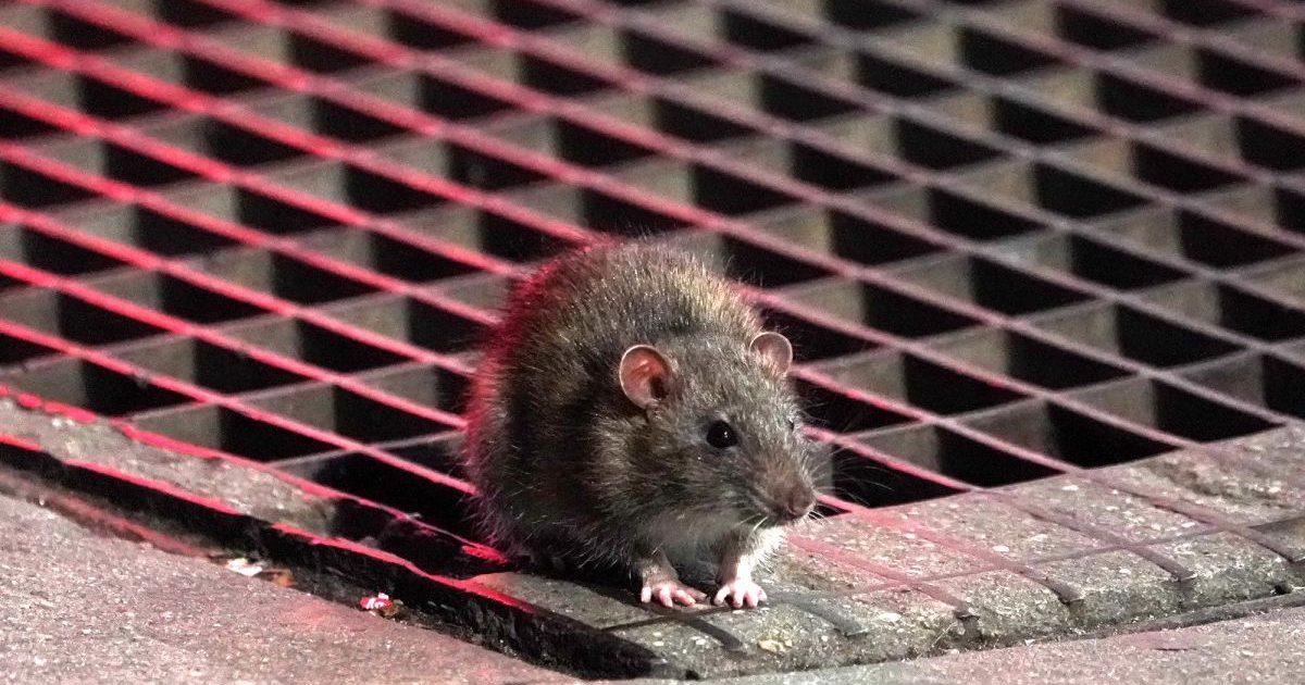102719rat3cs e1590601373768.jpg - New-York : Les rats sont devenus plus agressifs et s'en prennent même à un homme dans le métro