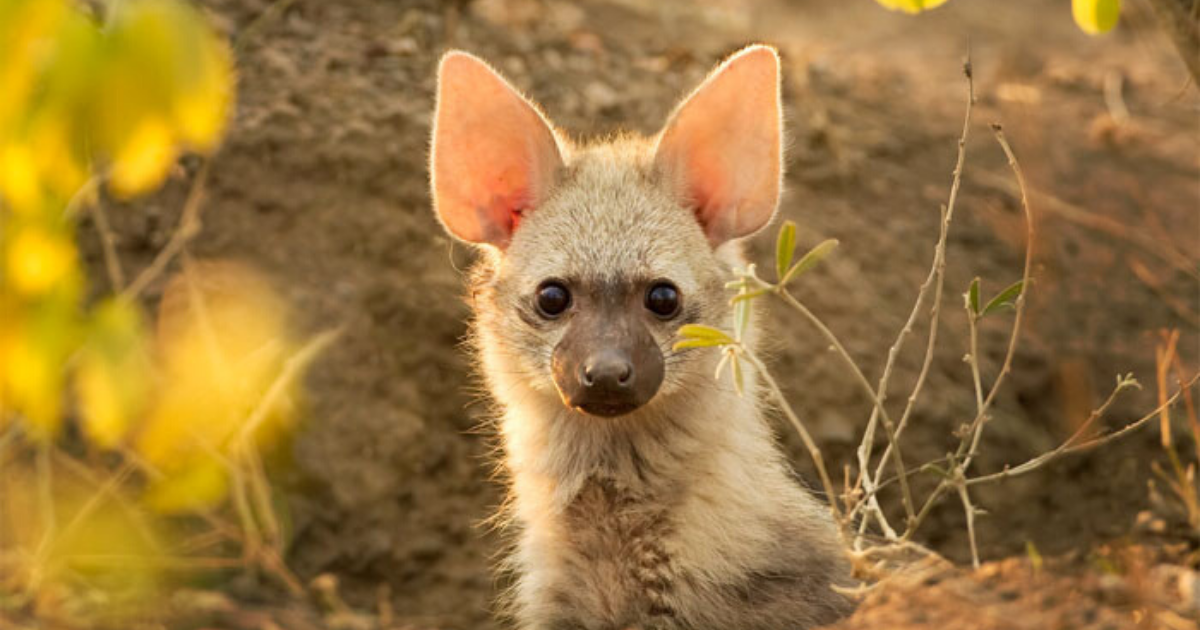 aardwolf6.png - Meet The Cutest Animal You Never Even Knew Existed: Aardwolf