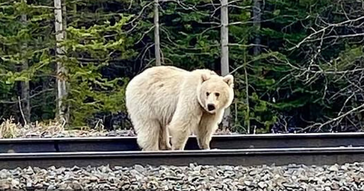 bear4.png - Extremely Rare White Grizzly Bear Spotted Near A Tourist Resort In A 'Once In A Lifetime Opportunity'