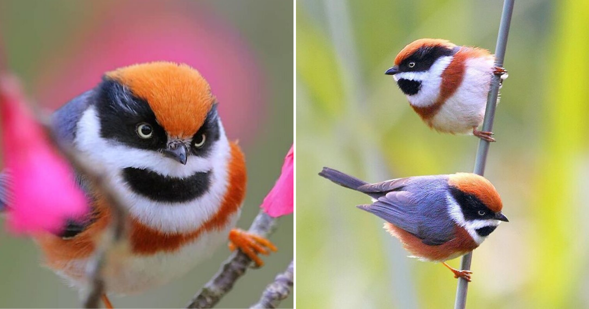 birds6.png - These Fluffy And Colorful Birds Are Called The Black-Throated Bushtit