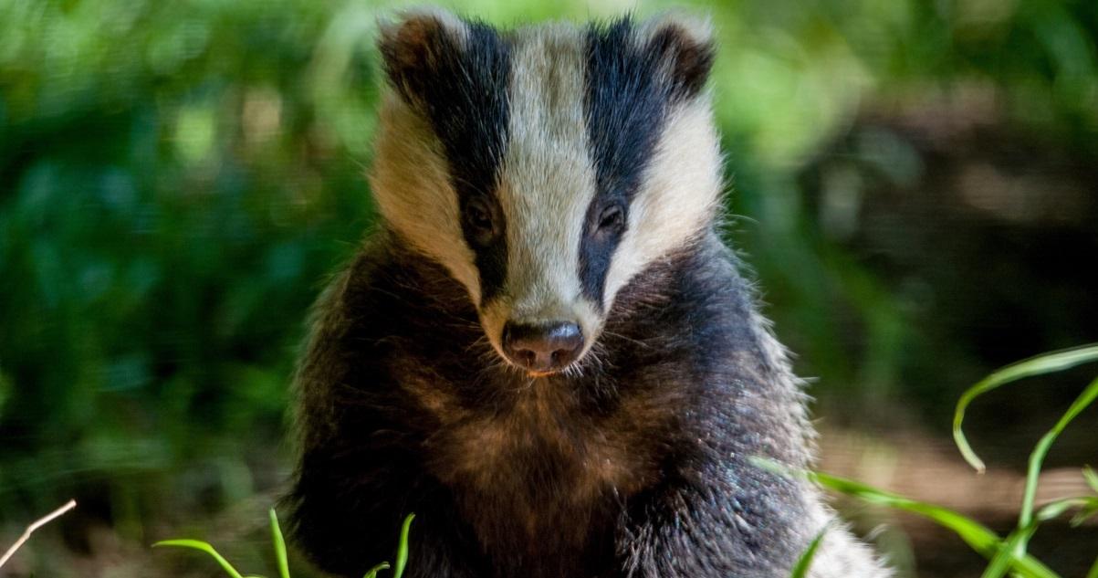 blaireau.jpg - Des députés demandent la fin de la chasse aux blaireaux !