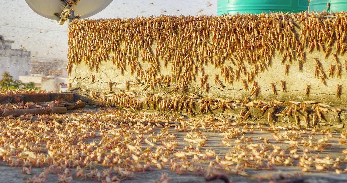 c1 9.jpg - Insectes ravageurs: des millions de criquets pèlerins sont en train d'envahir l'Inde