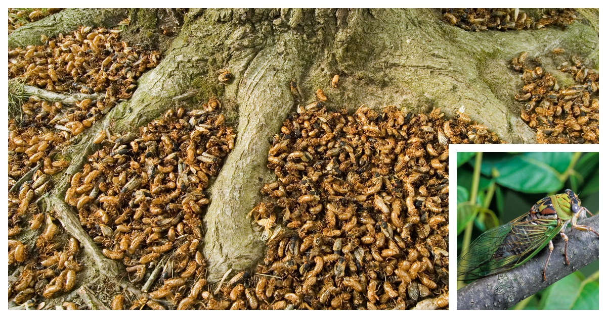 collage 57.jpg - Up To 1.5 Million Cicadas Will Hatch At the Same Time in Eastern United States