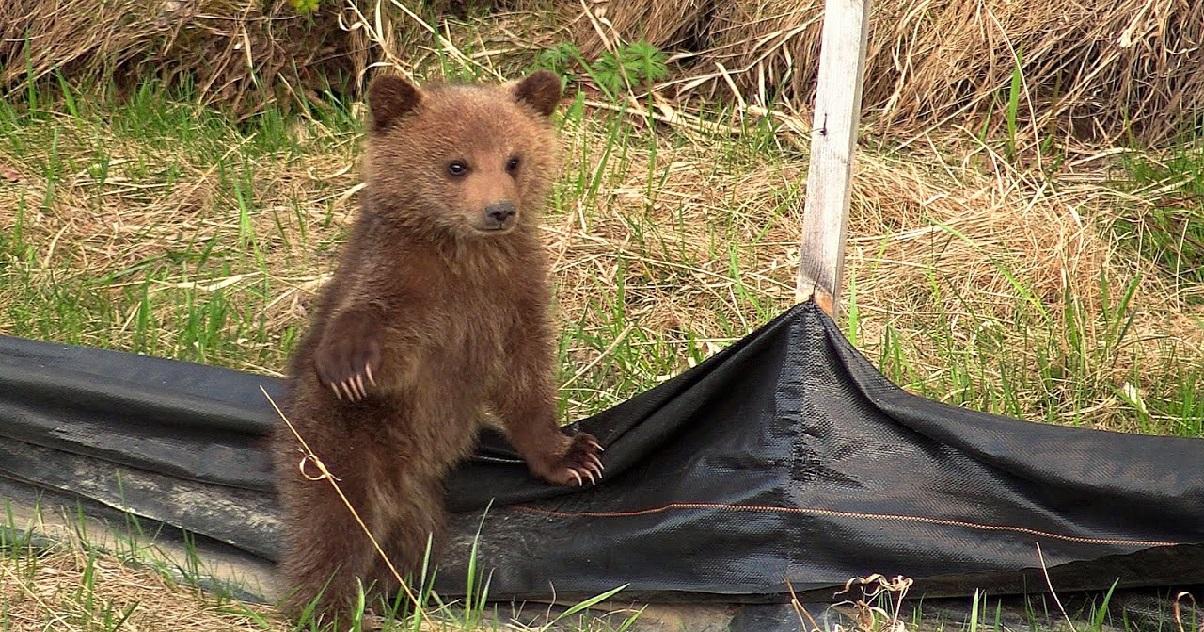 cub.jpg - L'image du jour: Des oursons ont été aperçus avec leur mère dans les Pyrénées