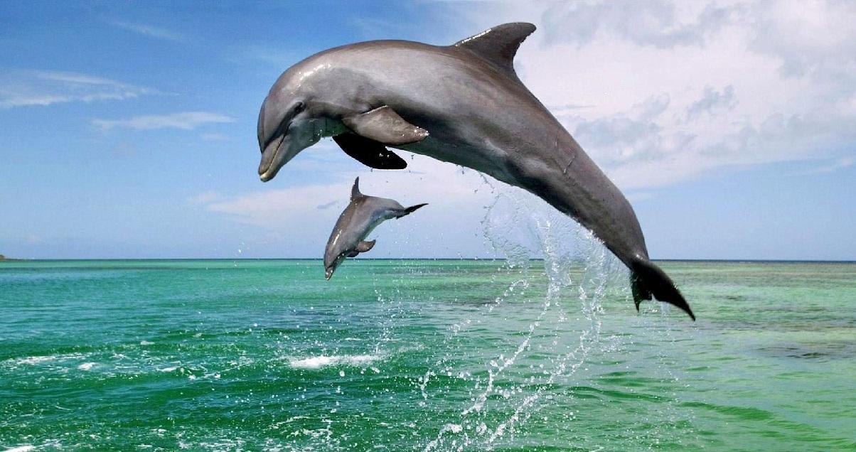 deux grands dauphins 1.jpg - Carnet Rose: un dauphin né à Marineland vient de donner naissance à un bébé !