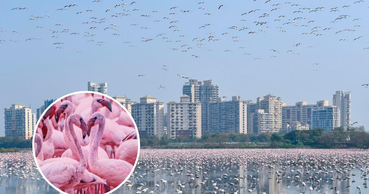 flamingos6.png - Thousands Of Flamingos Have Flocked To Mumbai Amid Coronavirus Lockdown, Turning The Metropolis Pink