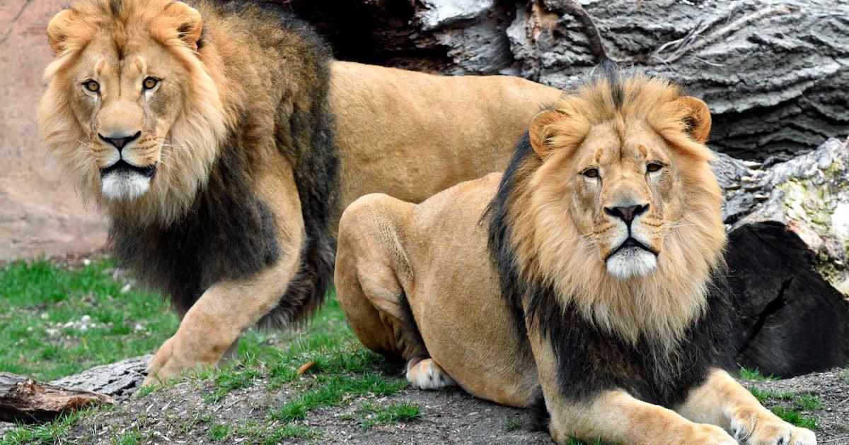 lions.png - Chili : Un homme a tenté de se suicider dans un zoo en se jetant dans la fosse aux lions et deux félins ont été abattus