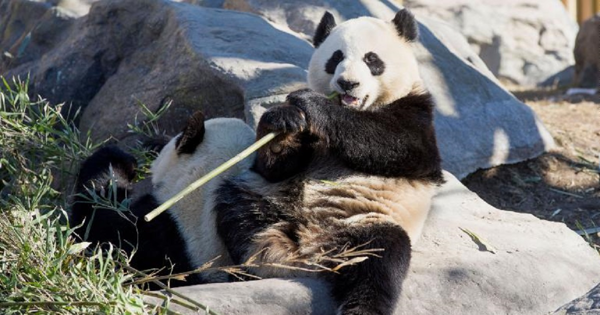 p3 5.jpg - Two Pandas At Calgary Zoo Are Heading Back To China Due To Shortage Of Bamboo
