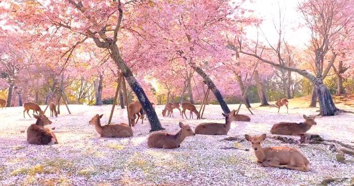 parc nara cerfs cerisier.jpg - Une vidéo incroyable de cerfs sous des cerisiers en fleurs au Japon